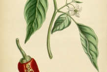 Illustration-of-Chili-plant