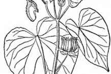 Sketch-of-Velvet Leaf -plant