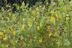 Velvet Leaf -Plant-growing-wild