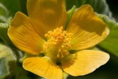 Closer-view-of-flower-of-Velvet Leaf -plant