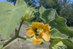 Flower-of-Velvet Leaf -plant