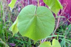 Leaf-of-Velvet Leaf -plant