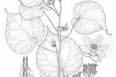 Plant-Illustration-of-Velvet Leaf -plant
