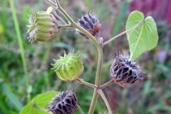 Ripe-and-unripe-fruits-of-Velvet Leaf -plant
