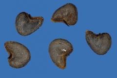 Seeds-of-Velvet Leaf -plant