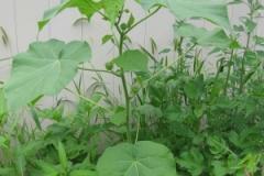 Young-Velvet Leaf -Plant