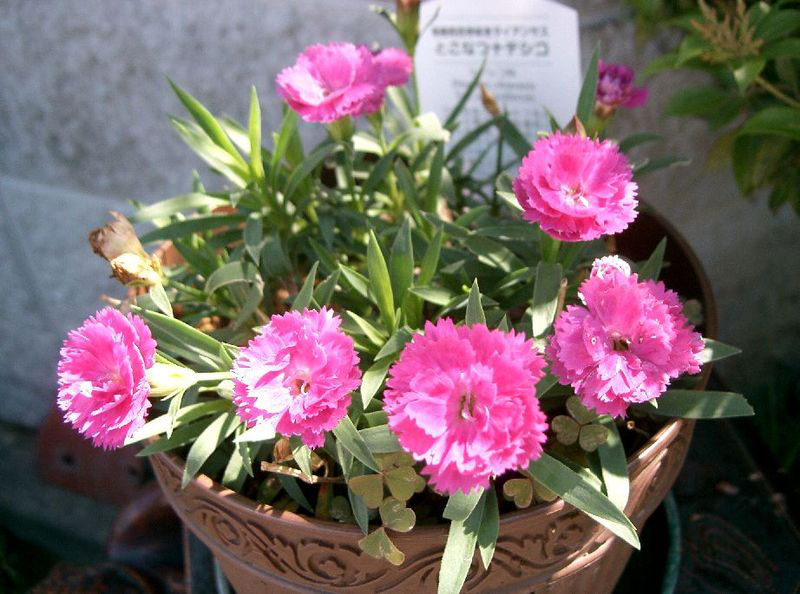 China-pink-Plant-grown-on-pot