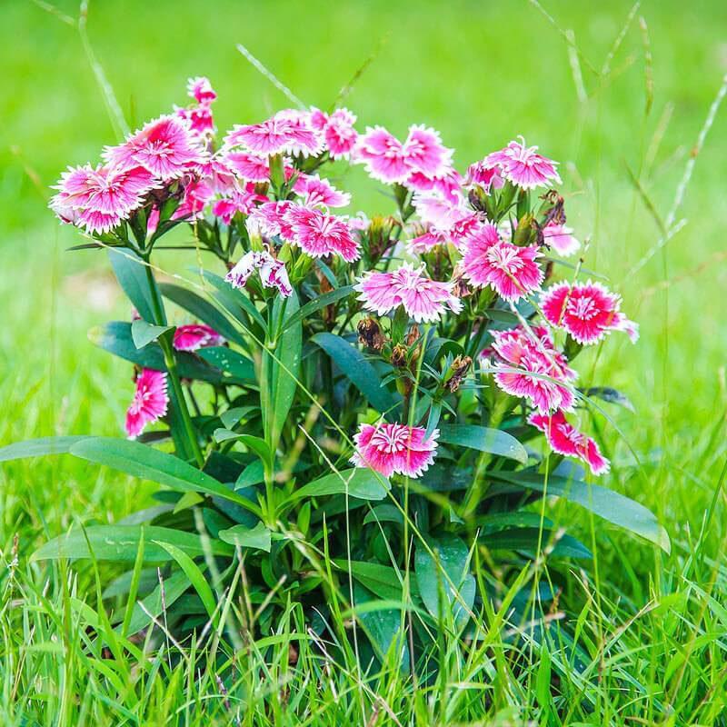 China-pink-Plant