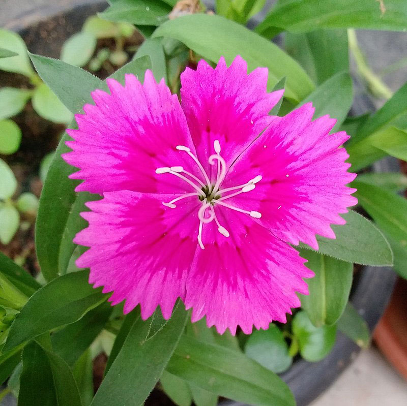 Closer-view-of-flower-of-China-pink