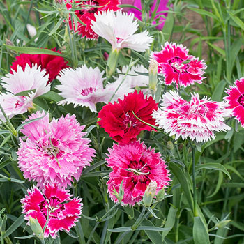 Different-Varieties-of-China-pink