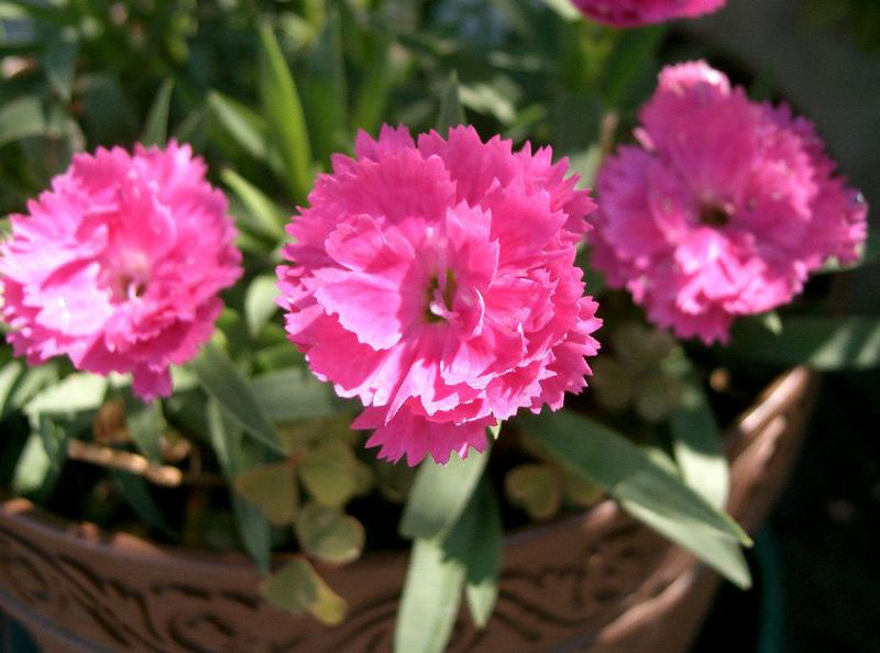 Flowers-of-China-pink