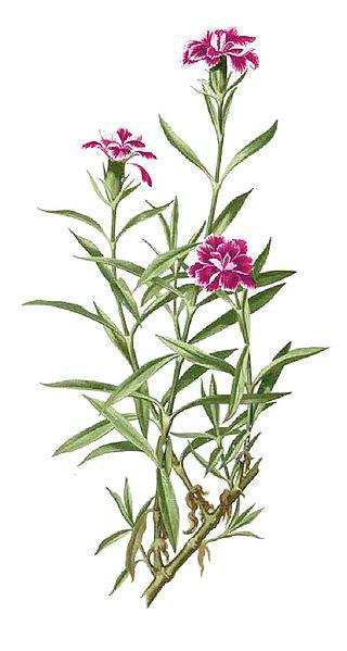 Plant-Illustration-of-China-pink