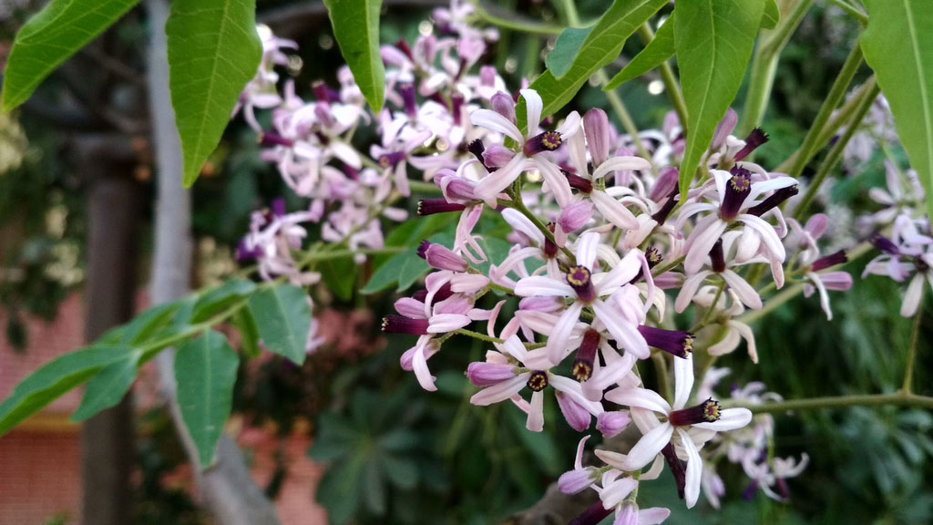 Flowers-of-Chinaberry