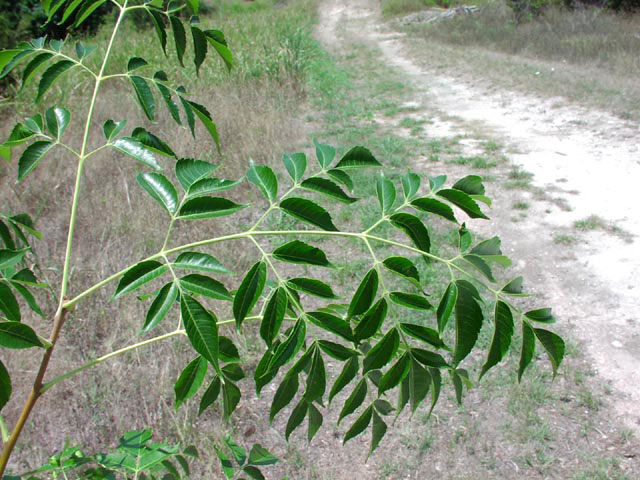 Leaves-of-Chinaberry