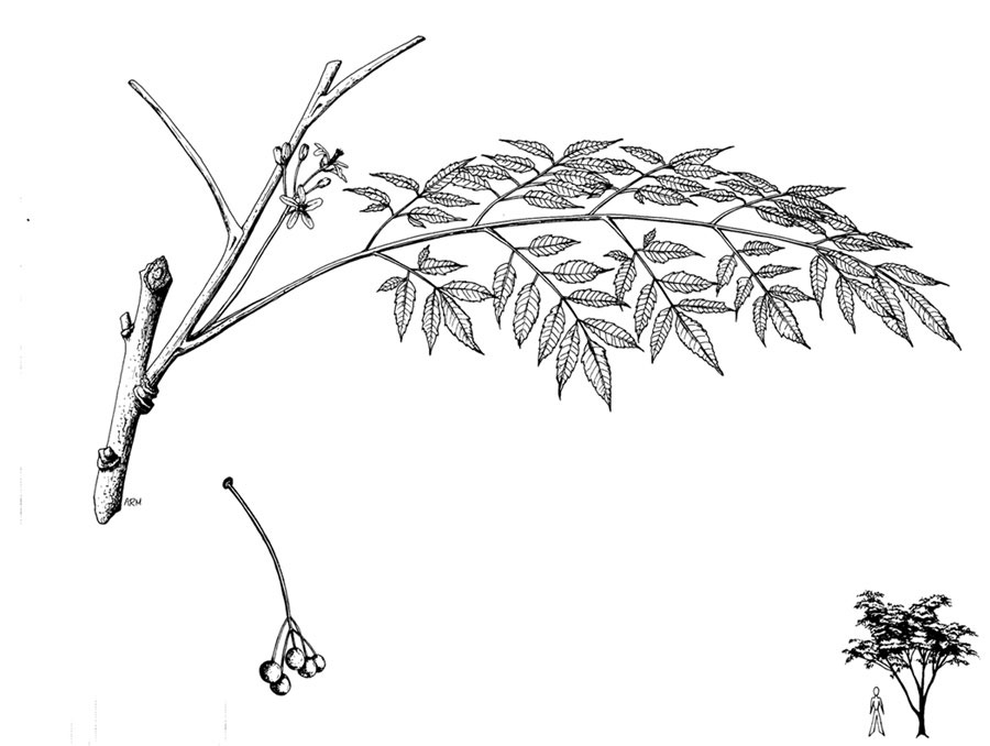 Sketch-of-Chinaberry