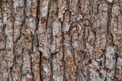 Bark-of-Chinaberry