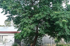 Chinaberry-Tree