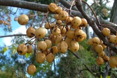 Mature-berries-of-Chinaberry