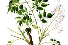 Plant-Illustration-of-Chinaberry