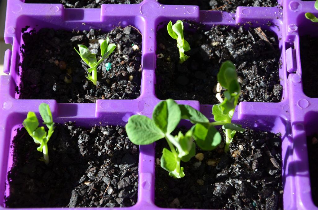 Seedlings-of-Chinese-broccoli