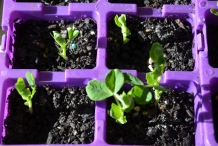Seedlings-of-Chinese-broccoli
