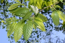 Chinese-chestnut-leaves