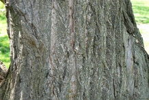 Chinese-chestnut-bark
