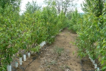 Chinese-chestnut-farm