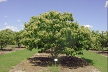 Chinese-chestnut-tree