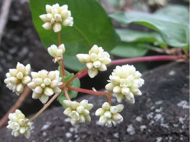 Flower-of-Chinese-knotweed