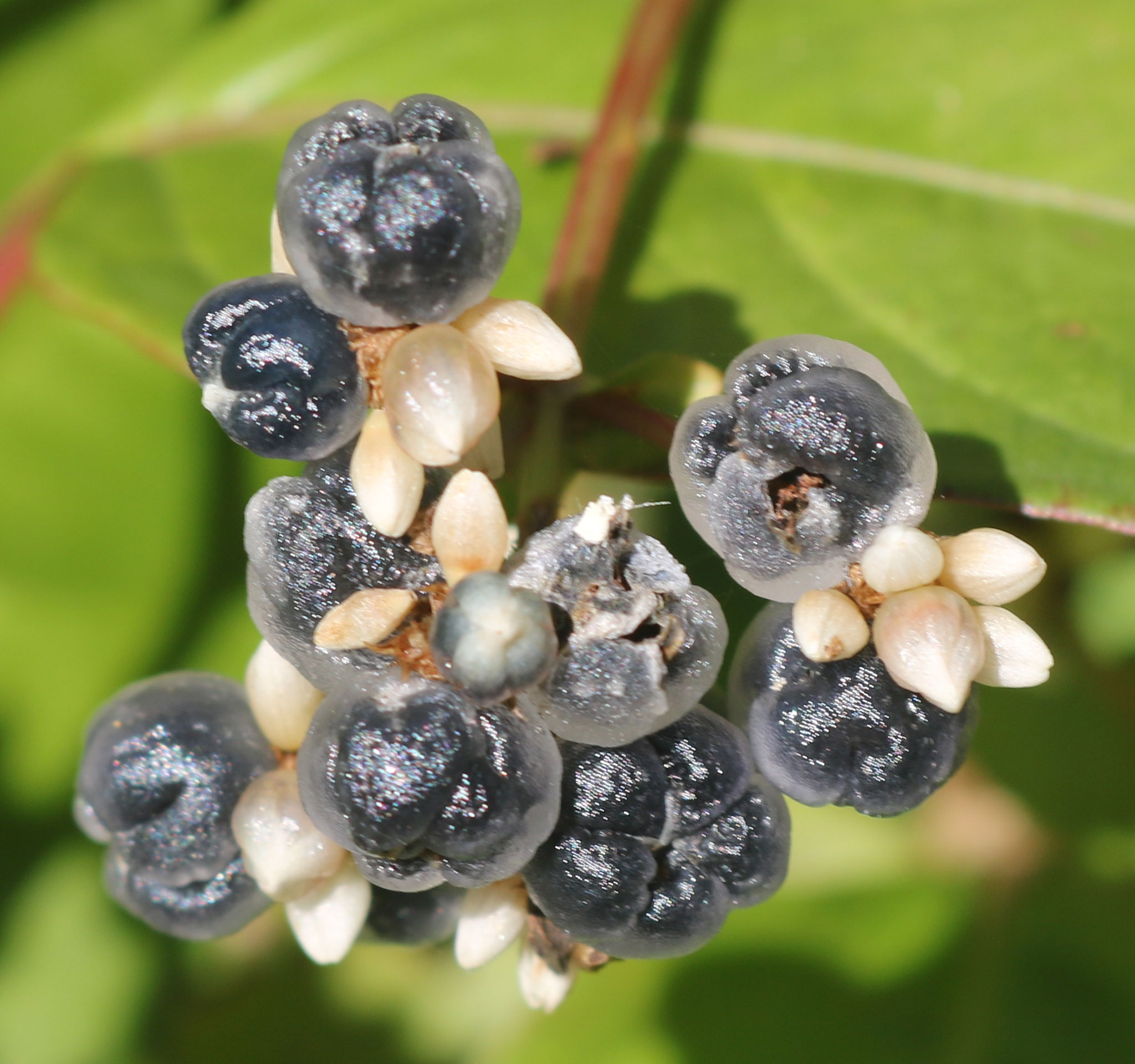 Fruits-of-Chinese-knotweed