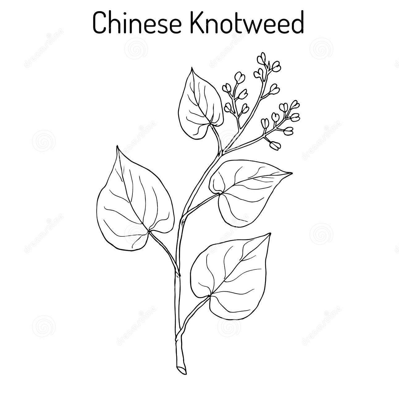 Sketch-of-Chinese-knotweed