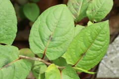 Leaves-of-Chinese-knotweed