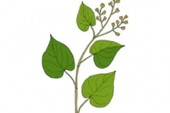 Plant-Illustration-of-Chinese-knotweed