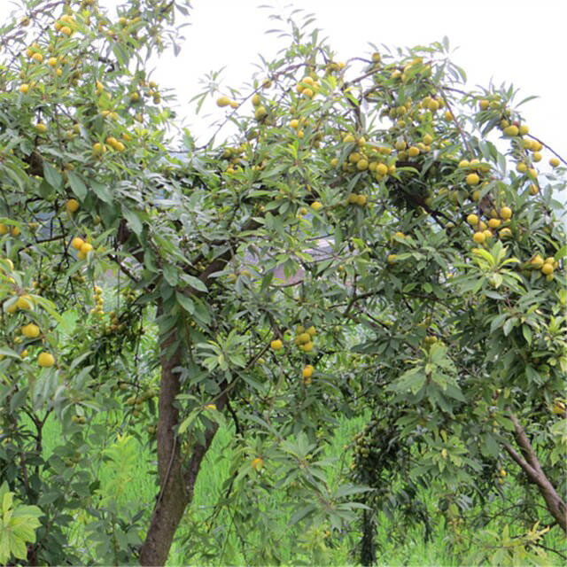 Chinese-Plum-tree