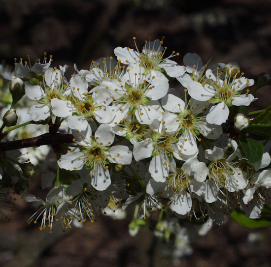 Flowers-of-Chinese-Plum