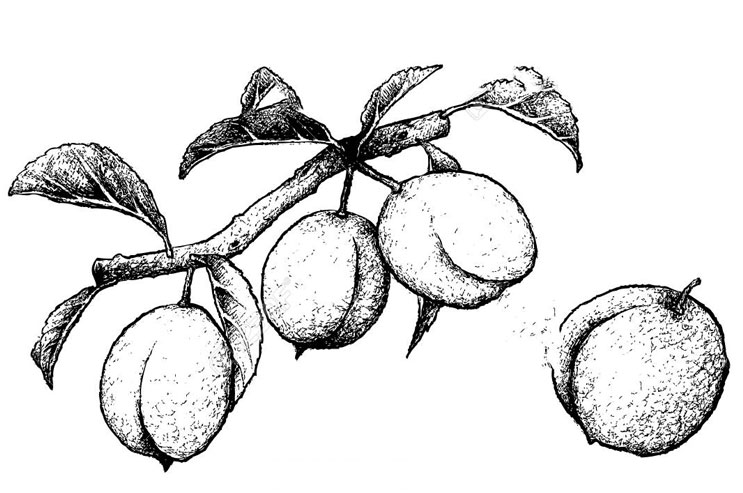 Sketch-of-Chinese-Plum