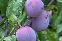 Mature-Chinese-Plum