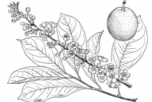 Plant-Illustration-of-Chinese-Plum