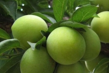 Unripe-Chinese-Plum-on-the-tree
