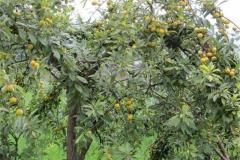 Chinese-Plum-tree