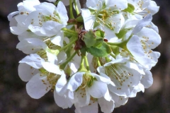 Closer-view-of-flower-of-Chinese-Plum