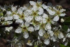 Flowers-of-Chinese-Plum