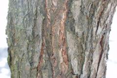 Matured-bark-of-Chinese-Plum-tree