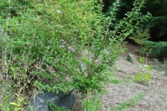 Young-Chinese-Plum-tree
