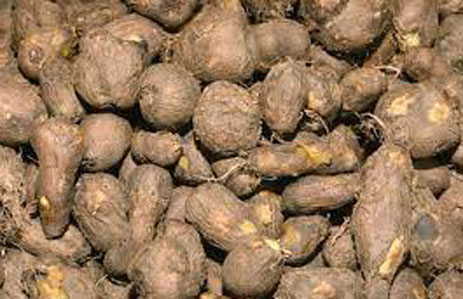 Tubers-of-Chinese-Potatoes