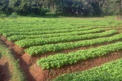 Chinese-Potatoes-Farming