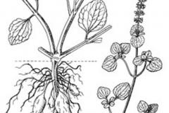 Plant-Illustration-of-Chinese-Potatoes