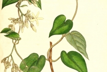Illustration-of-Chinese-violet