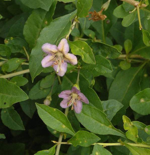 Flowers-of-Chinese-wolfberry